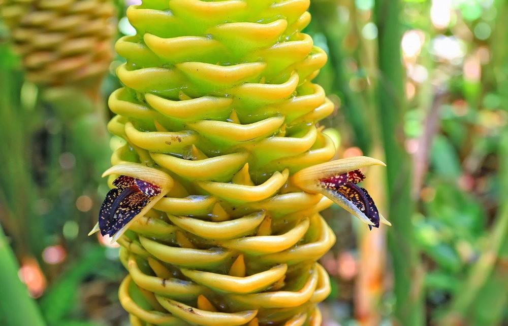 参观夏威夷热带生物保护区花园---2_图1-12