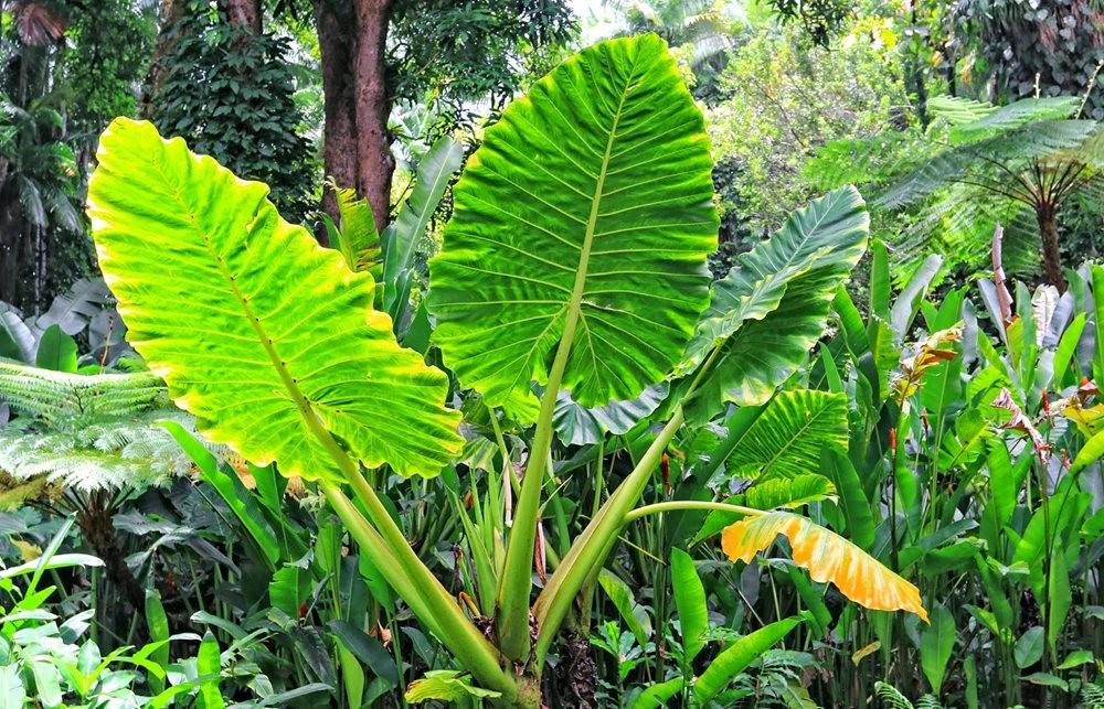 参观夏威夷热带生物保护区花园---2_图1-20