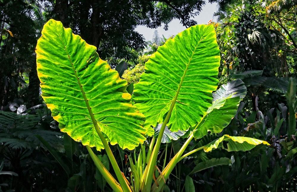 参观夏威夷热带生物保护区花园---2_图1-21