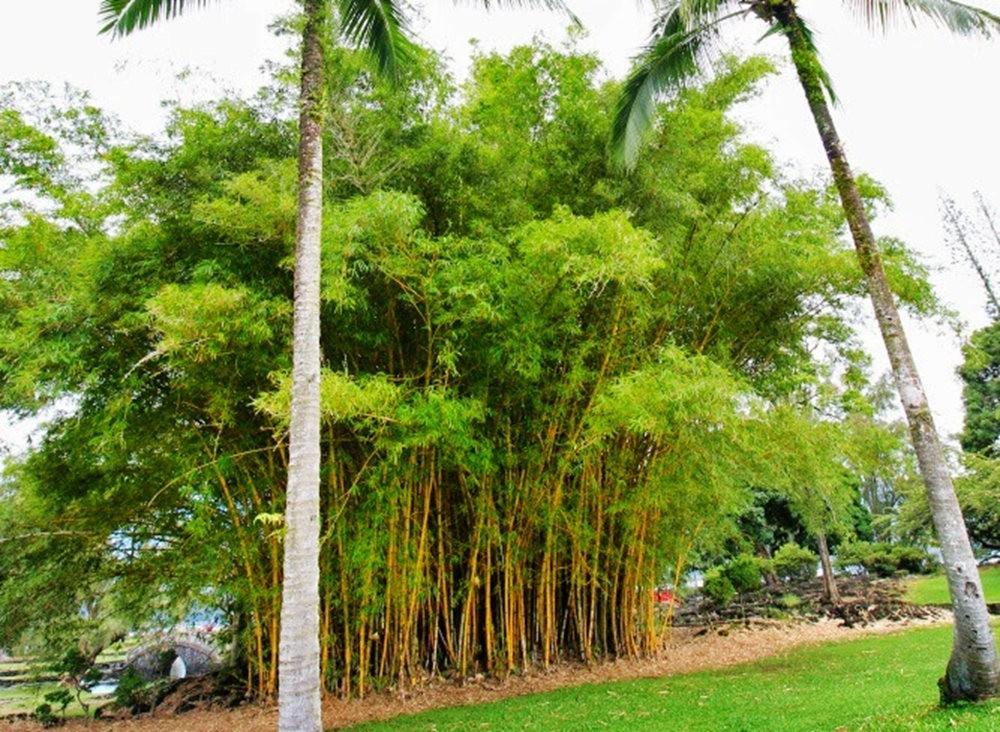 夏威夷的竹_图1-11