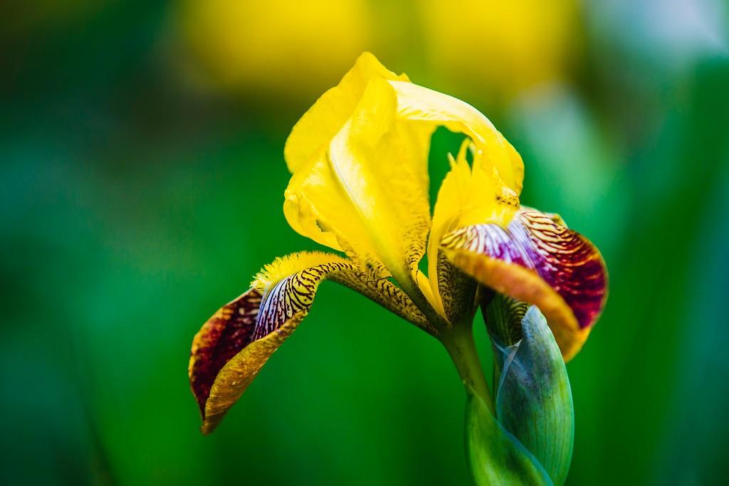 鸢尾花,热情开朗_图1-19