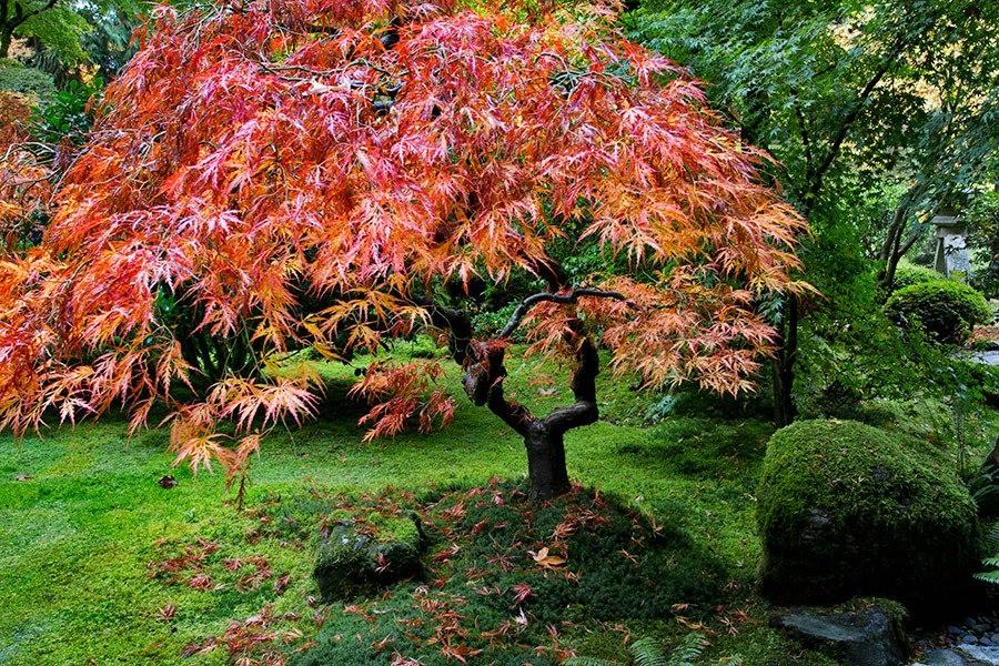 秋天的波特兰日本花园_图1-15