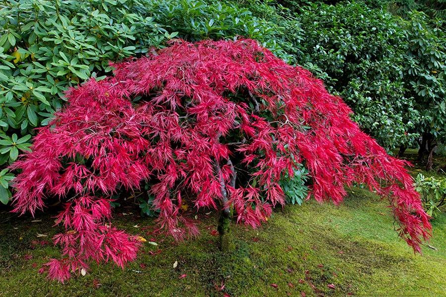 秋天的波特兰日本花园_图1-26