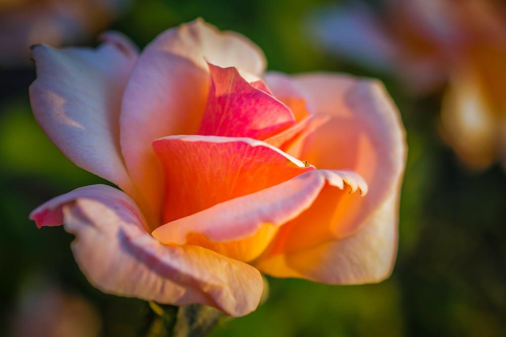 玫瑰花,无声胜有声_图1-19