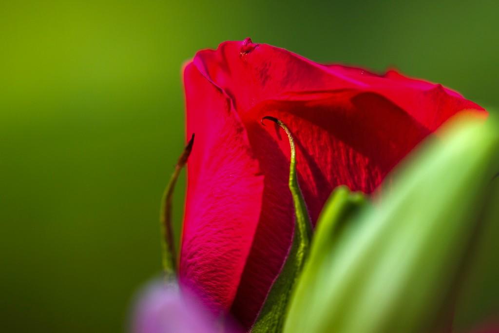 玫瑰花,无声胜有声_图1-22