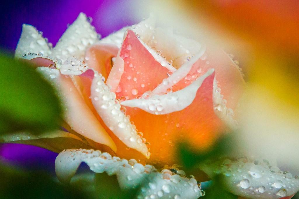 玫瑰花,无声胜有声_图1-20