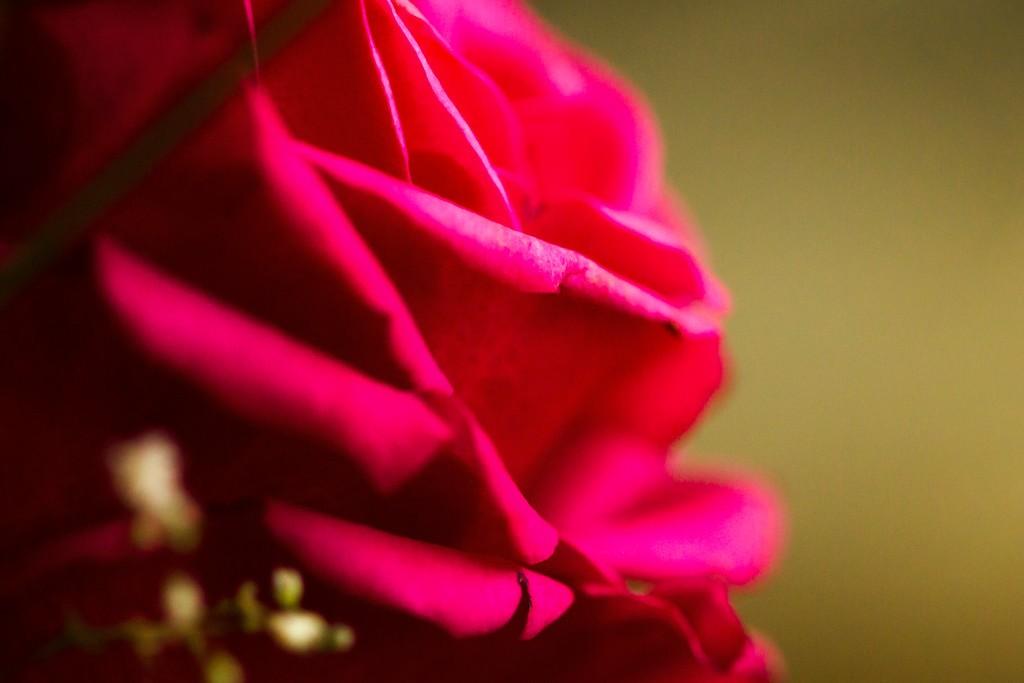玫瑰花,无声胜有声_图1-26