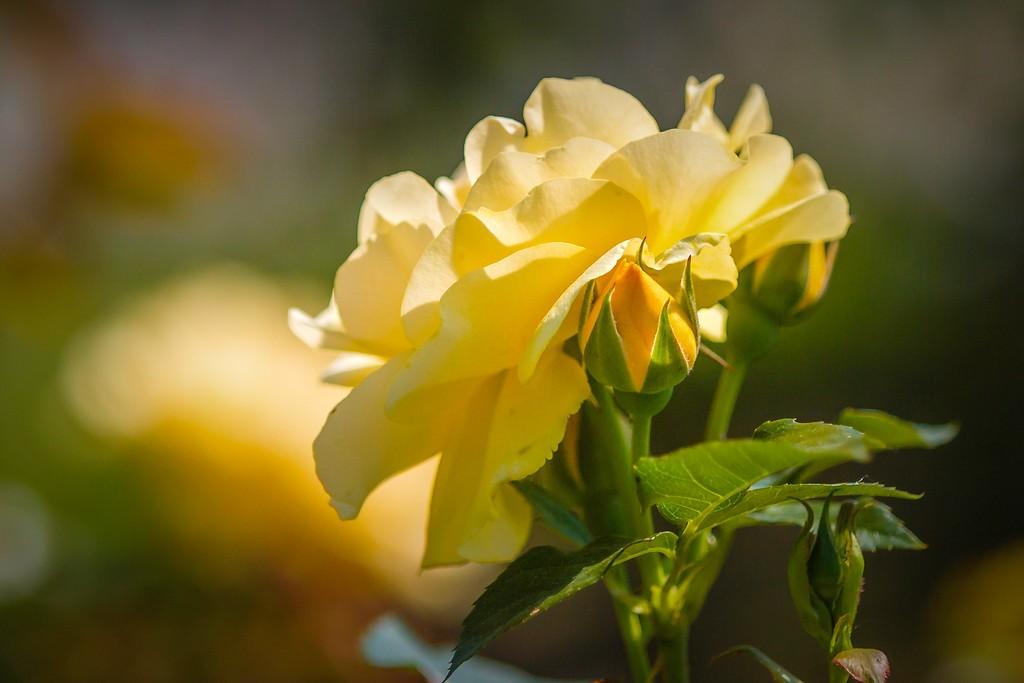 玫瑰花,无声胜有声_图1-25