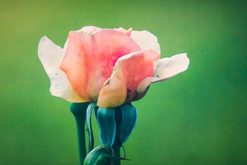 玫瑰花,无声胜有声_图1-23