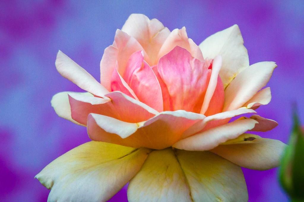 玫瑰花,无声胜有声_图1-17