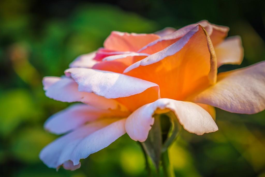 玫瑰花,无声胜有声_图1-16