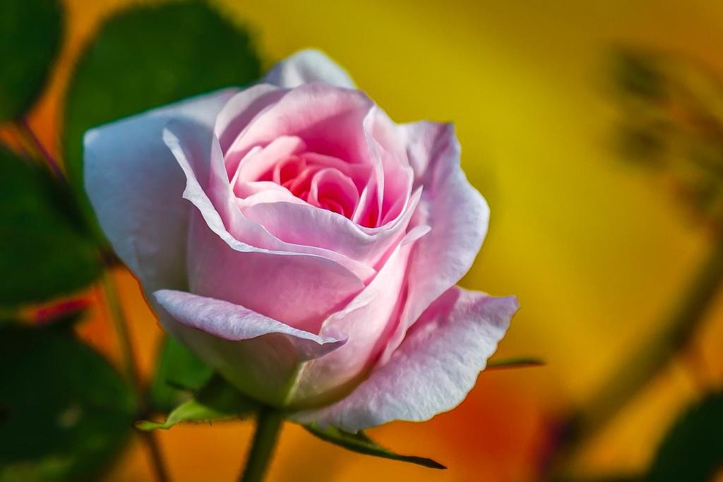 玫瑰花,无声胜有声_图1-3