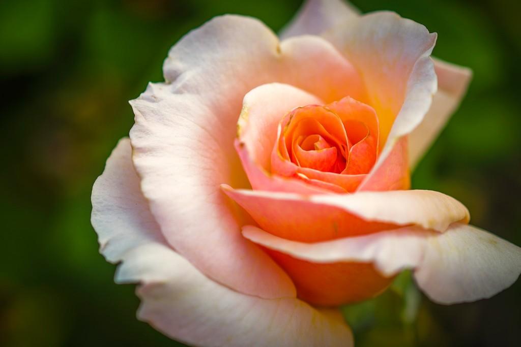 玫瑰花,无声胜有声_图1-1