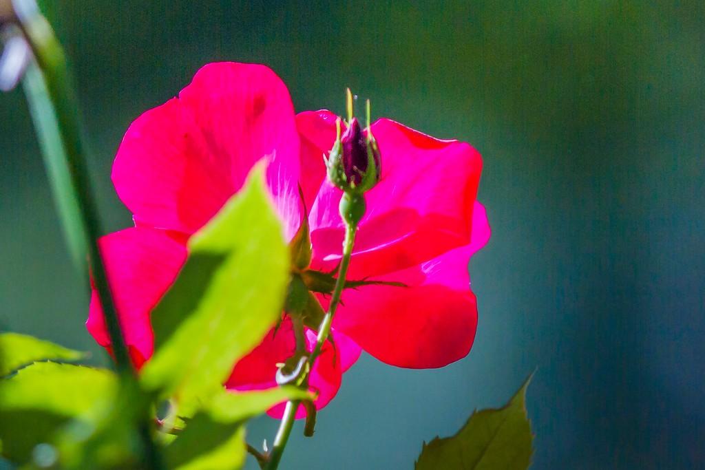 玫瑰花,无声胜有声_图1-2