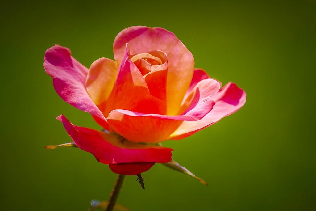 玫瑰花,无声胜有声_图1-4