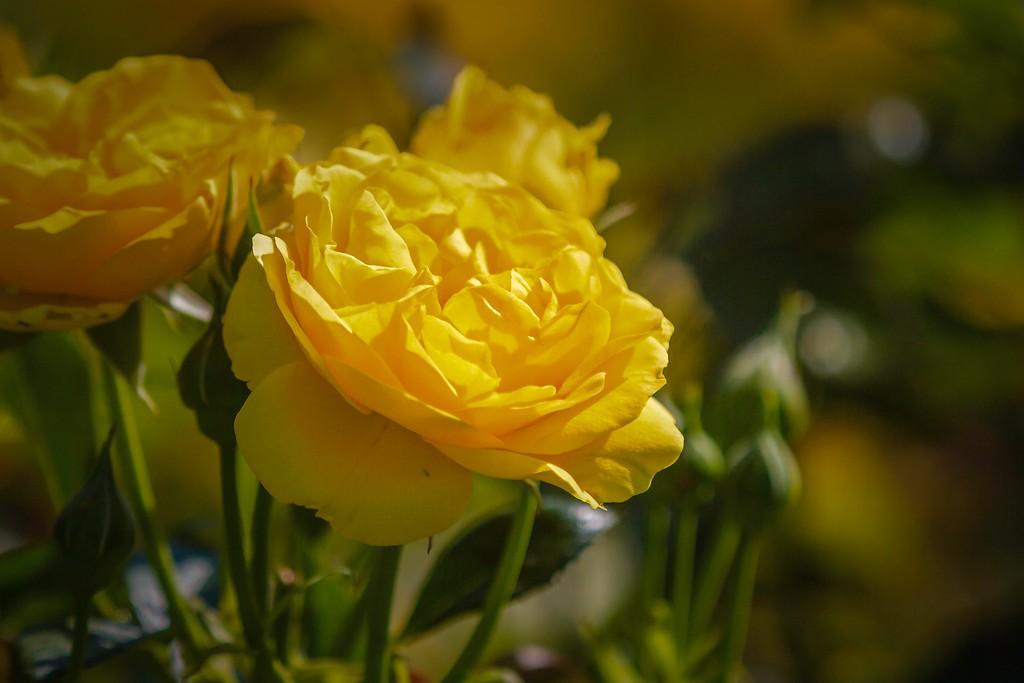 玫瑰花,无声胜有声_图1-10