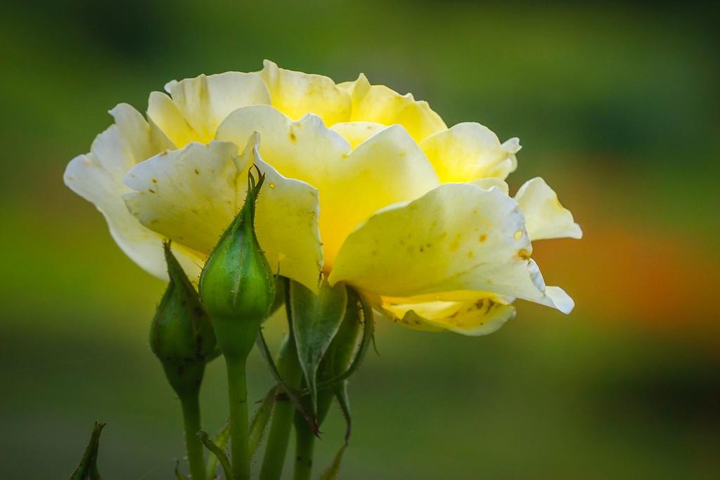 玫瑰花,无声胜有声_图1-8