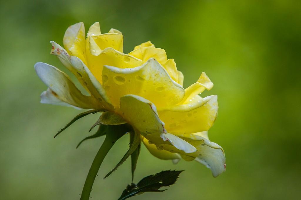 玫瑰花,无声胜有声_图1-6