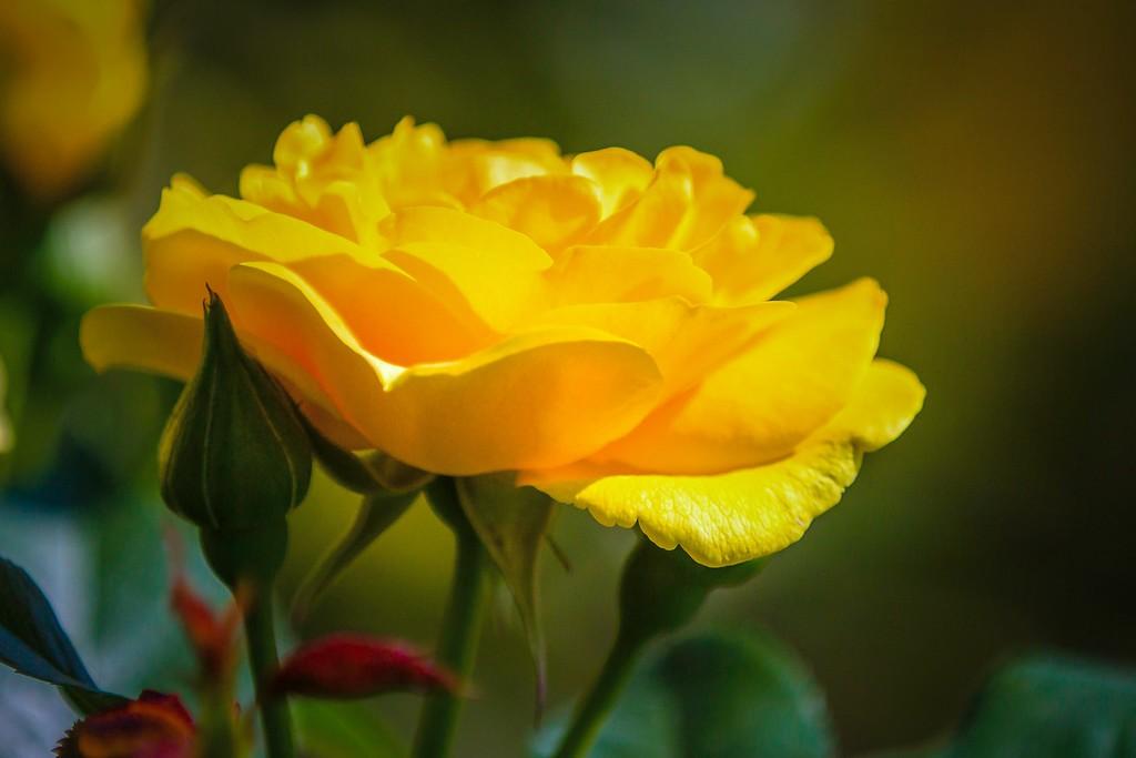 玫瑰花,无声胜有声_图1-5