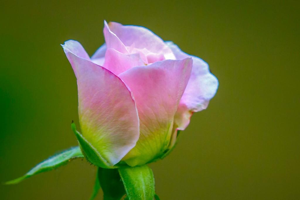 玫瑰花,无声胜有声_图1-9