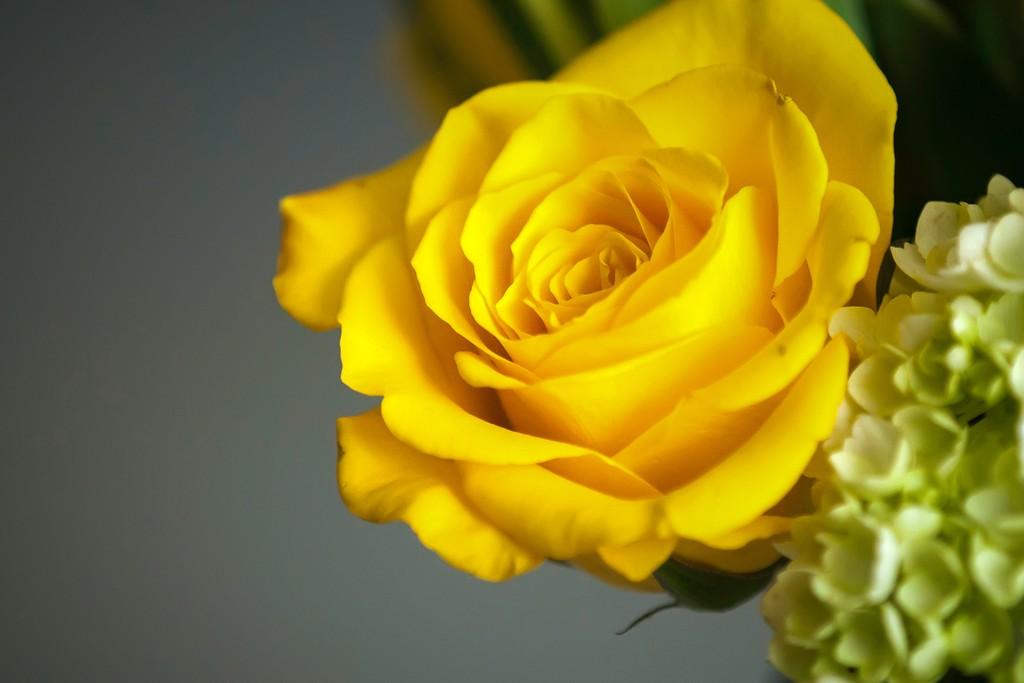 玫瑰花,无声胜有声_图1-11