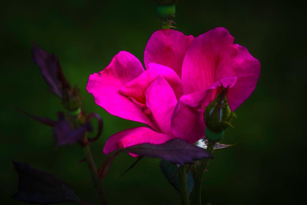 玫瑰花,无声胜有声_图1-7