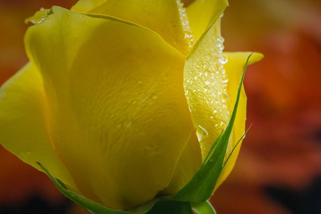 玫瑰花,无声胜有声_图1-14