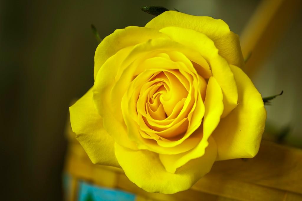 玫瑰花,无声胜有声_图1-13