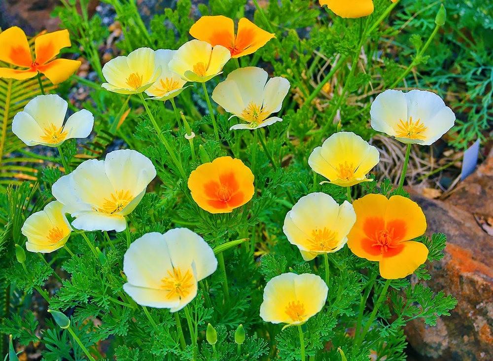 加州的路旁罂粟野花_图1-4