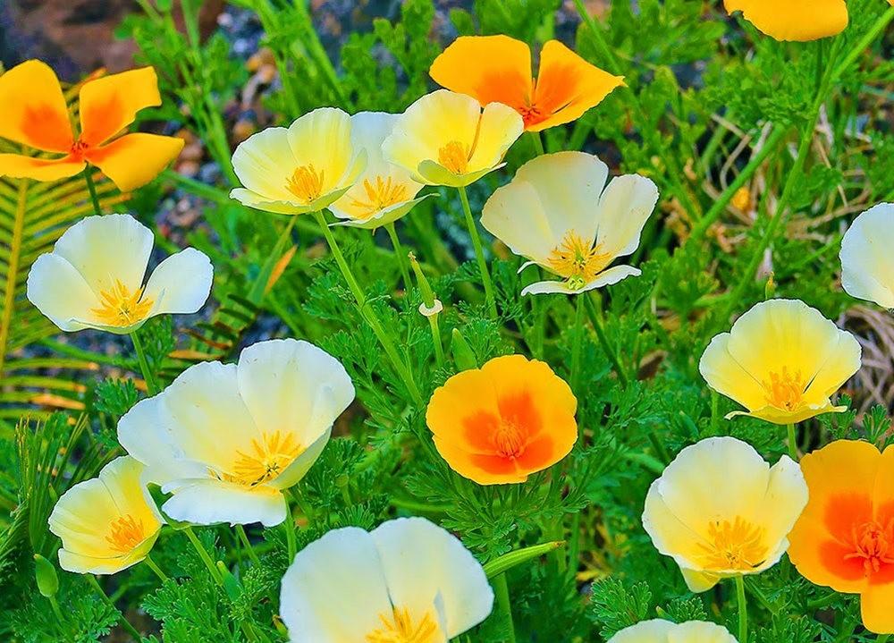 加州的路旁罂粟野花_图1-5