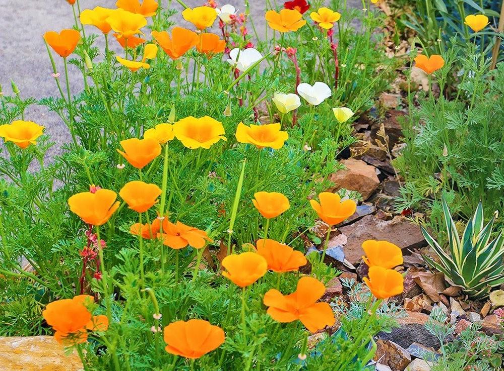 加州的路旁罂粟野花_图1-6
