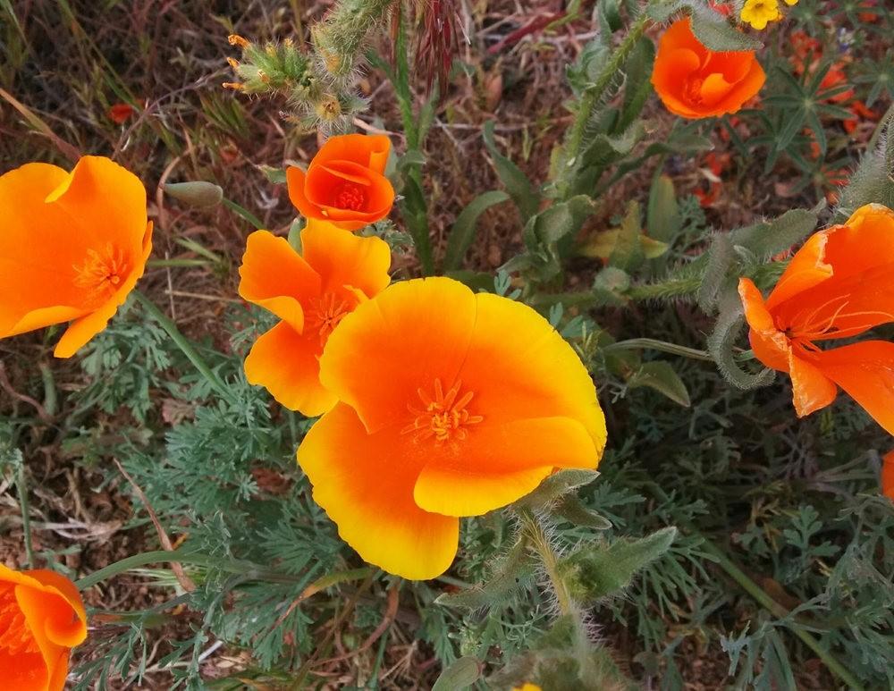 加州的路旁罂粟野花_图1-9