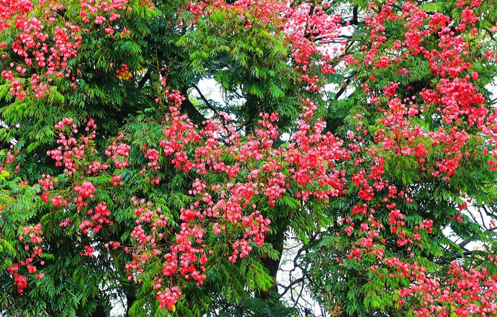 台湾栾树在加州_图1-1