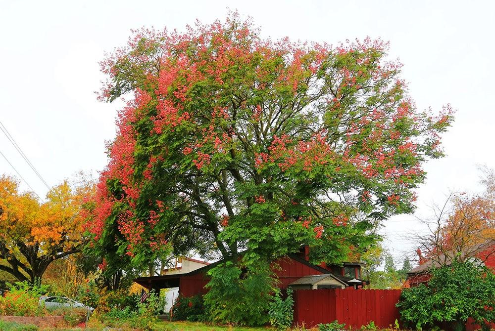 台湾栾树在加州_图1-3