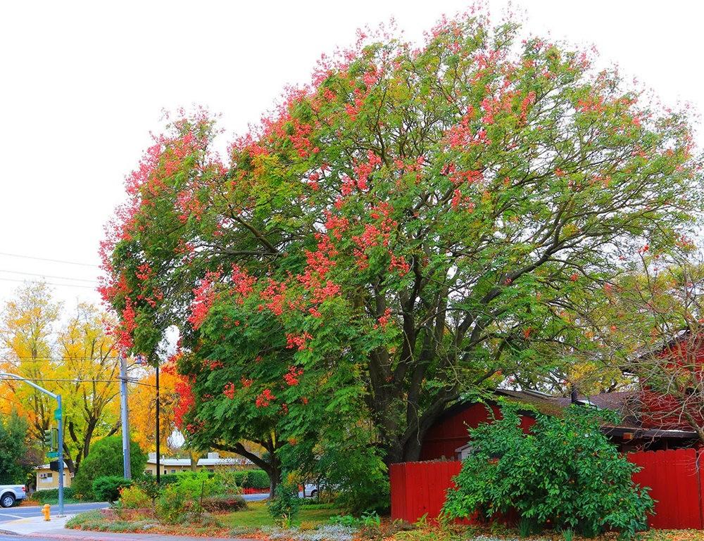 台湾栾树在加州_图1-4