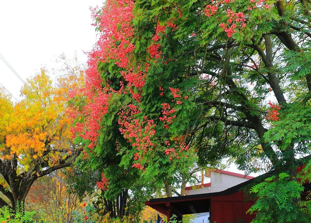 台湾栾树在加州_图1-5