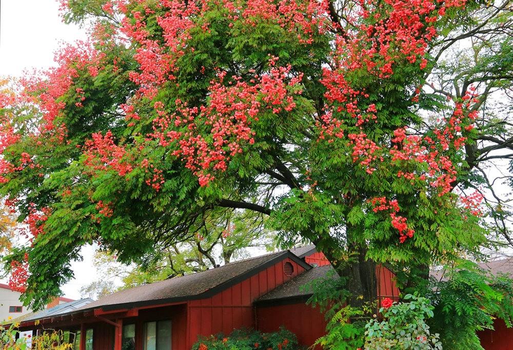台湾栾树在加州_图1-6