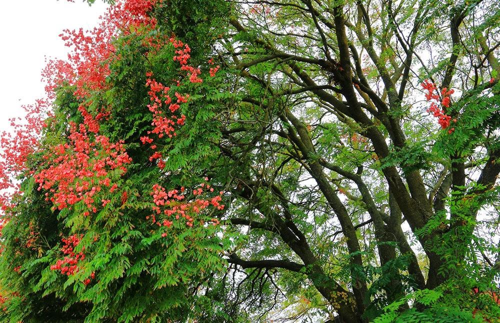 台湾栾树在加州_图1-7