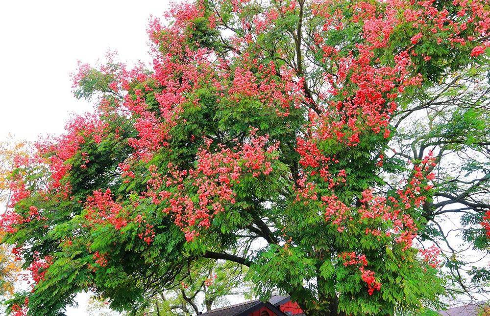 台湾栾树在加州_图1-8