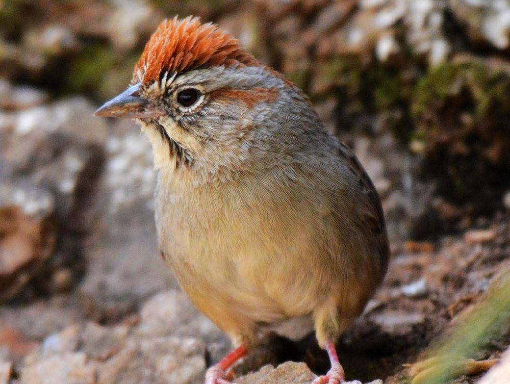 奥罗谷国家公园观鸟_图1-15