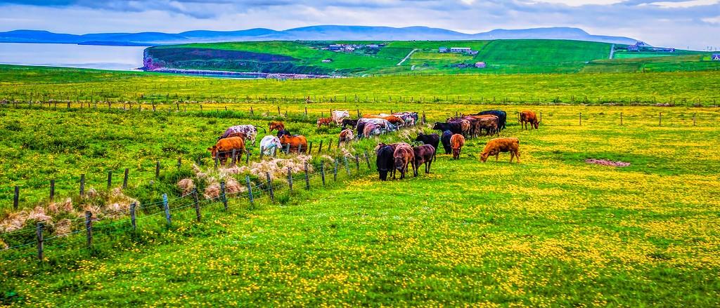 苏格兰奥克尼岛(Orkney Islands),牧场牛羊_图1-1