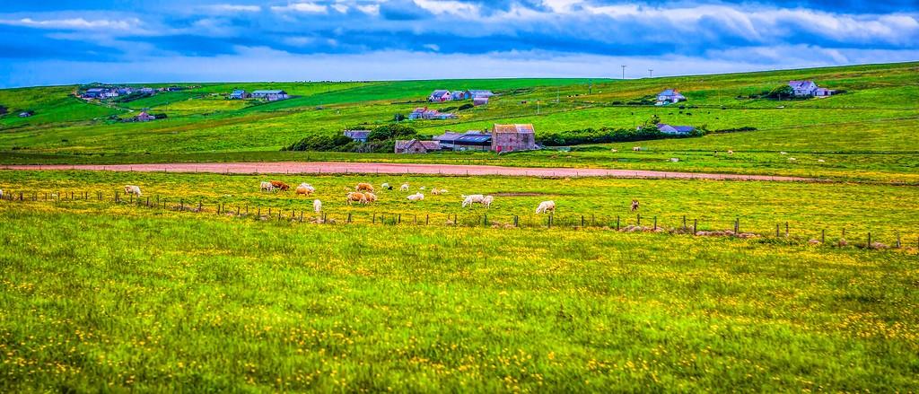 苏格兰奥克尼岛(Orkney Islands),牧场牛羊_图1-24