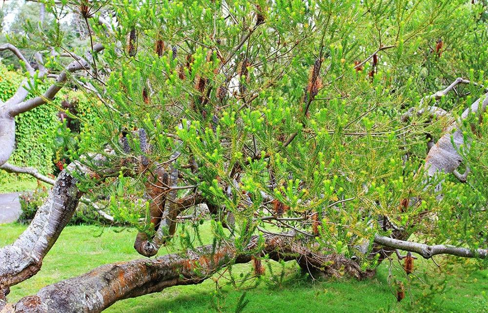 毛伊岛的库拉植物园_图1-7