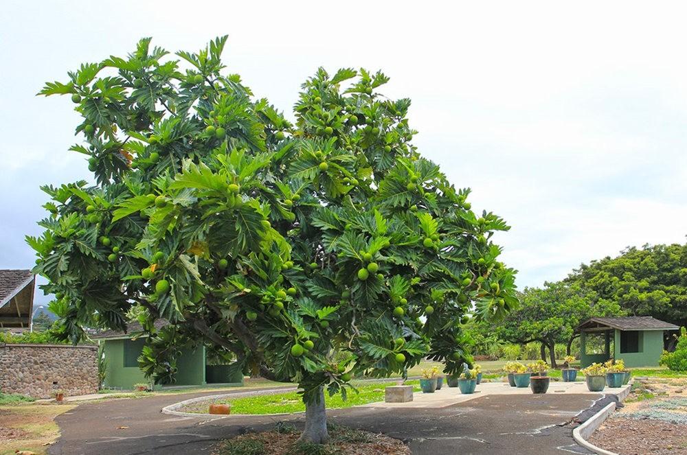 毛伊岛的库拉植物园_图1-19