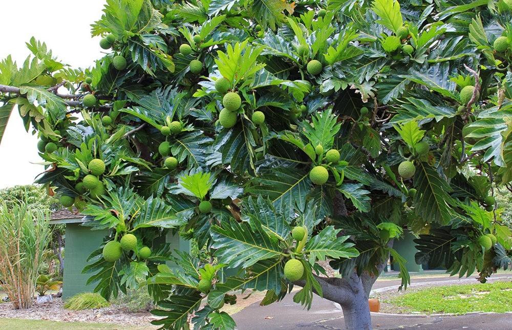 毛伊岛的库拉植物园_图1-21