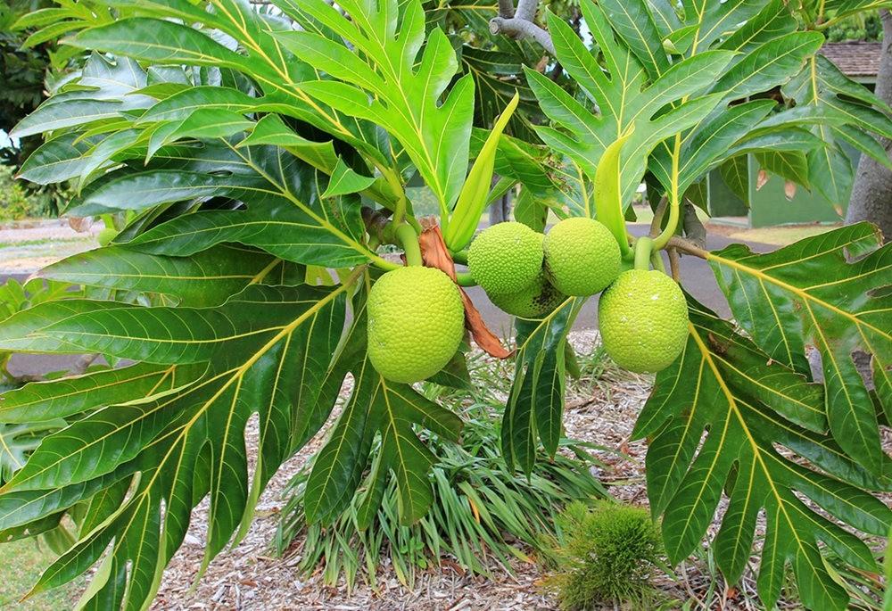 毛伊岛的库拉植物园_图1-23