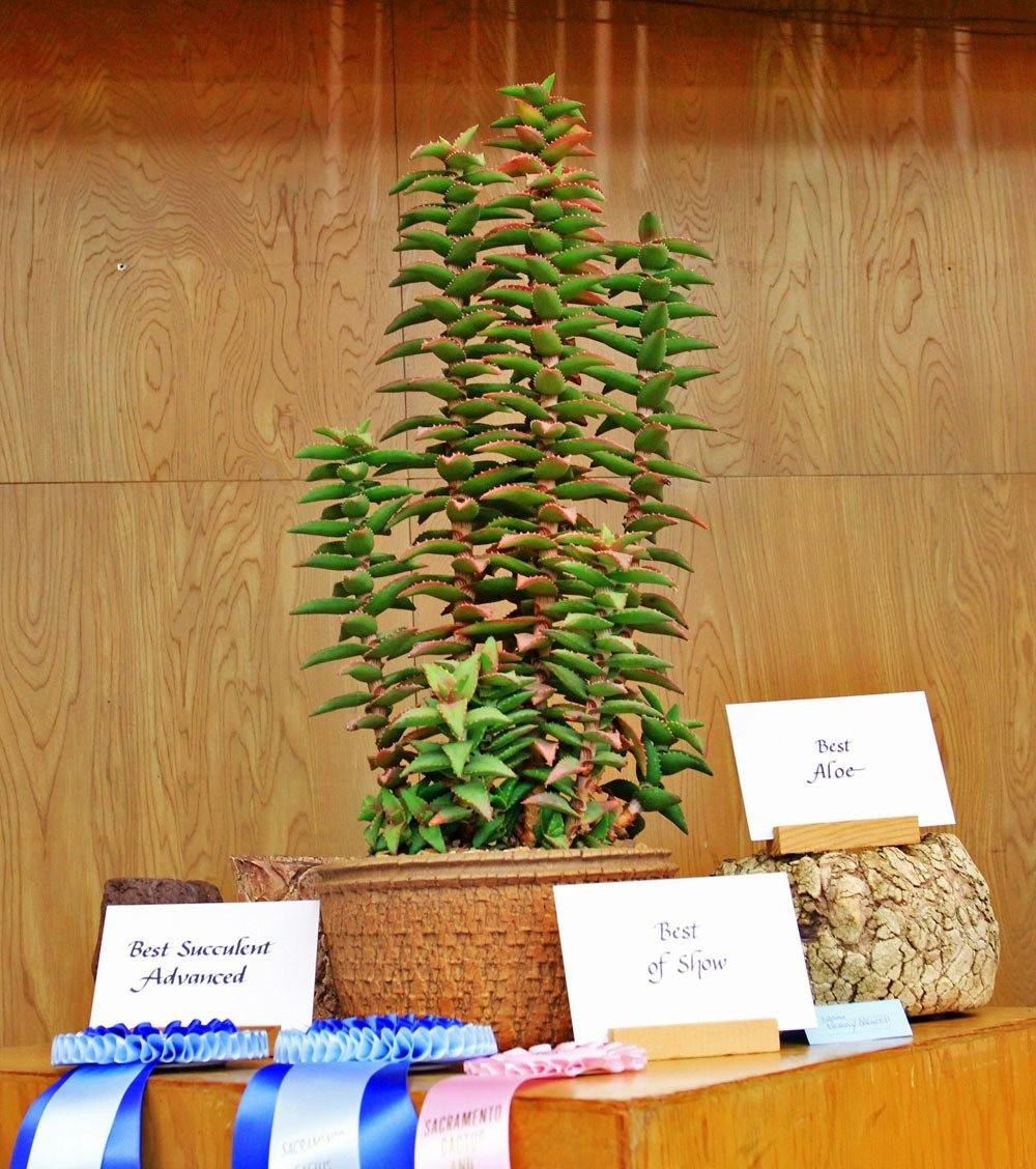 第53届萨克拉曼多仙人掌与肉质学会展览和销售---2_图1-3
