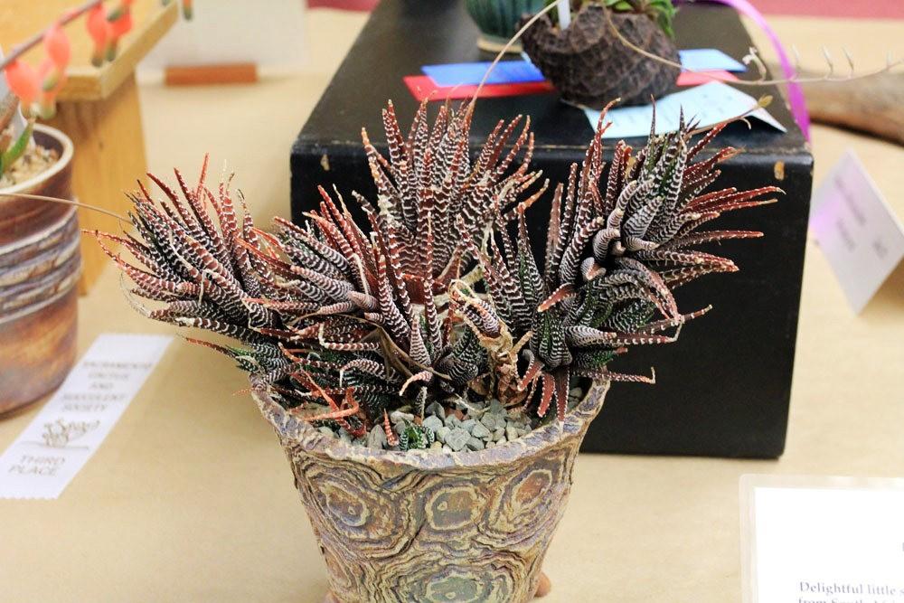 第53届萨克拉曼多仙人掌与肉质学会展览和销售---2_图1-12