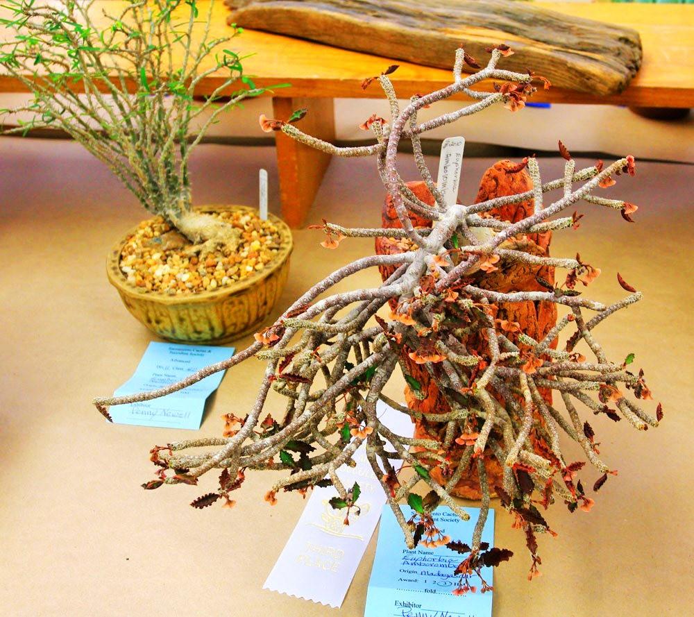 第53届萨克拉曼多仙人掌与肉质学会展览和销售---2_图1-24