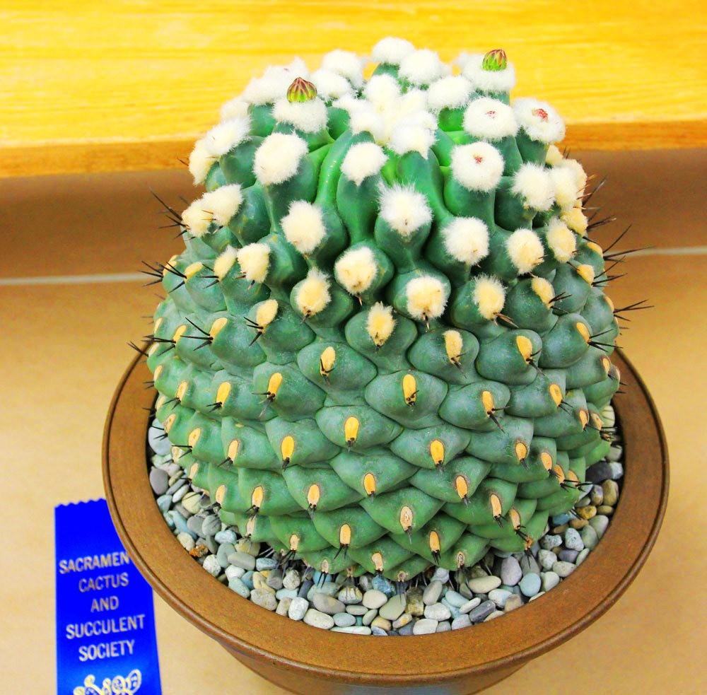 第53届萨克拉曼多仙人掌与肉质学会展览和销售---2_图1-25